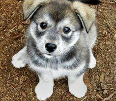 """Pug husky mix. It's called a """"hug"""". So adorable."""