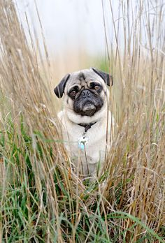 puglet goes hunting