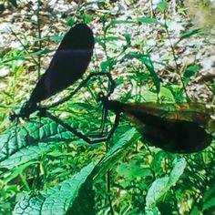 Dragonfly love in the Kanawha State Forest of West Virginia