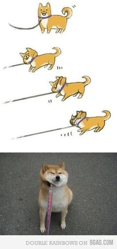 My shiba inu used to do this ALL THE TIME! LOL