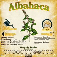 Albahaca #huertavertical