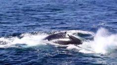 Humpback Whales Kick-Feeding