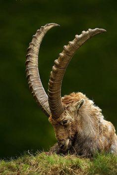 Capra Ibex,