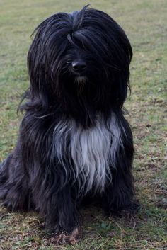 Dizzy The Perfect Tibetan Terrier | by emmie69