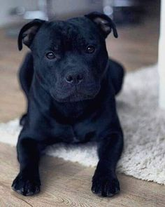 What's your dogs name? Cute Dogs And Puppies, Baby Dogs, Doggies, Pitbull Terrier, Cute Funny Animals, Cute Baby Animals, Blueline Pitbull, Beautiful Dogs, Animals Beautiful
