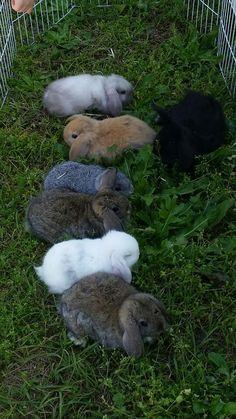 Holland lop bunny, Bunnies, rabbits, holland lops, lop eared bunnies, lop eared rabbits, adorable bunny