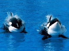 Killer whales wallpapers wallpaper cave all wallpapers killer whales wallpapers wallpaper cave all wallpapers pinterest killer whales and wallpaper thecheapjerseys Images
