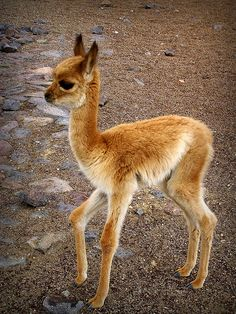 A Baby Guanaco.  The Llama is the domestic counterpart of the Guanaco.  Guanacos are found in South America, mainly in Argentina.  They are used for wool, meat and skin.  Mountain Lions are their main preditors.