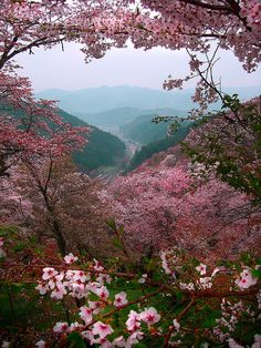cherry blossoms in the sakura mountains.  yoshino, japan