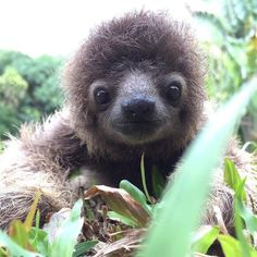 100 Unbearably Cute Sloth Pics To Celebrate The International Sloth Day Cute Baby Sloths, Cute Baby Animals, Animals And Pets, Funny Animals, Cute Sloth Pictures, Cute Animal Photos, Animal Pictures, My Spirit Animal, Cute Creatures