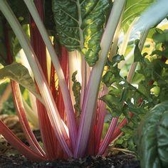 Rhubarb! Easy to grow and grow in abundance!