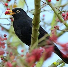 Are you hoping to see blackbirds during your Big Garden #Birdwatch? They love to sunbathe and they can often be seen on the ground with their wings spread. This is because the heat from the sun can help them to kill off parasites on their wings!