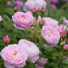 Queen Anne - David Austin Roses