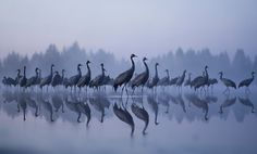 IFWP image of the year 2011. Aamuyön kurjet (Cranes in the dawn) by Jouni Suikkanen