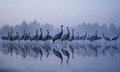 IFWP image of the year 2011. Aamuyön kurjet (Cranes in the dawn) by Jouni Suikkanen