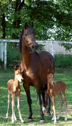 images of horses with twins | Mare with her twin foals horse | Horses n' Ponies n' Donkeys