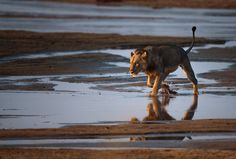 The chase is on - A young male lion crossing the Luangwa river early in the morning, looking straight to a pair of impalas in front of him. WEB: www.schmidchris.com  INSTAGRAM: https://instagram.com/schmid_chris/ FACEBOOK: https://www.facebook.com/chrisschmidphotography