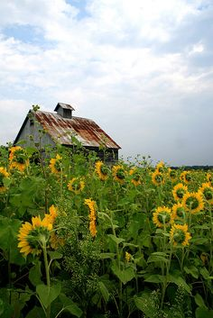 Sunflowers turning their faces to an old, weathered barn