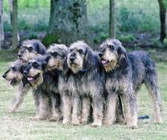 Griffon Nivernais Puppy Dog Unique Dog Breeds, Rare Dog Breeds, Popular Dog Breeds, Griffon Nivernais, Border Collie Mix, Irish Wolfhound, Dogs And Puppies, Doggies, Hunting Dogs