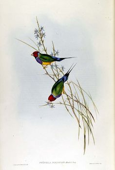 Grass Finch. John Gould: The Birds of Australia  London: 1848-1869