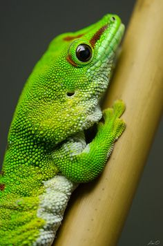 libutron:Madagascar Day Gecko - Phelsuma madagascariensisPhelsuma madagascariensis (Gekkonidae) is a species of diurnal gecko endemic to Madagascar, and is the largest Phelsuma species of Madagascar. Adults can reach up to 25 cm in length. Their tails are usually just as long as their bodies or longer. They have broad, flattened toe pads with adhesive lamellae (thin flat scales). These toe pads give them the ability to cling to smooth surfaces. Their eyes are very large and do not have…