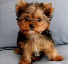 Teacup Yorkie | teacup yorkie puppies for adoption | Puppies for Sale, Dogs for Sale ...