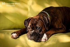 Love the Background Color with this Gorgeous Boxer....Just Beautiful
