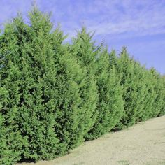 Leyland Cypress Trees - Cupressocyparis leylandii. These may also be trimmed nicely into a hedge. Rapid growing conifer, requires sheering in narrow sites. Heights in excess of 20'
