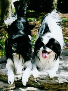 Pictures of Japanese Chin Dog Breed
