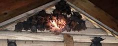 HOW TO REMOVE BATS FROM YOUR ATTIC - http://www.homeadditionplus.com/dev/attic-insulation-fan-stair-main/how-to-remove-bats-from-attic/