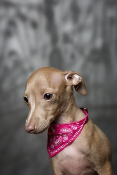 Italian greyhound - like a delicate little alien. ~ETS #doggies