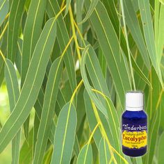 Eucalyptus Essential Oil 15mL | Tinderbox Eucalyptus Essential Oil, Pure Essential Oils, Aromatherapy, Succulents, Fragrance, Essentials, Perfume, Skin Care, Pure Products