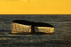 Diving Right Whale at sunset, Bay of Fundy, Canada, Brian Skerry Photography