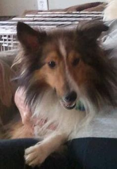 Location Columbus, OH Rescue ID Tyler Organization Contact CENTRAL OHIO SHELTIE RESCUE, INC. centralohiosheltierescue.org P.O. Box 13072 COLUMBUS, OH 43213 Send Question Tyler's Description  Help Me Get Adopted Cosr's Tyler Love Me Now! 1 year old sable and white male. VERY ACTIVE...this boy needs a performance home and that will be part of his adoption agreement. He is very fast, loves to play and jumps really high! He is a sweetheart and loves to love you. When he wags his tail...his whole…