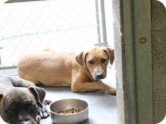 Labrador Retriever Mix Dog for adoption in Mesa, Arizona - A3546688 Maricopa County Animal Care & Control East Valley,Mesa AZ