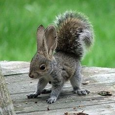 Squabbit squirrel rabbit mix (?!?)