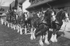 The Clydesdales - The origin of Anheuser-Busch's most enduring symbol can be traced to a publicity stunt cooked up by Busch in 1933. To celebrate the end of Prohibition, the young executive arranged for a team of Clydesdales to haul the first case of beer brewed after the repeal down Pennsylvania Avenue, to be delivered to the White House of President Franklin D. Roosevelt.