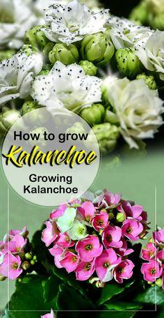 How to Grow Kalanchoe | growing Kalanchoe | kalanchoe care