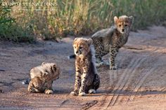 Adorable ! Cheetah cubs spotted in the wild. Guests were on a game drive through the nThambo Tree Camp traverse and spotted the cubs!    Follow us on Facebook for more cute animal photos of big cats in their natural habitat: https://www.facebook.com/nthambotreecamp