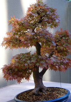 "Acer palmatum ""Deshojo"" Japanese Maple Bonsai Tree 