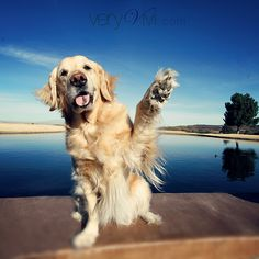 Hi- five! Pet Photography / Golden Retriever / Beach