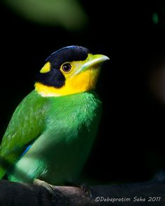 From National Geographic.com  Long-tailed broadbills are found in the Himalayas, SE Asia, and Indonesia, and are the only bird in the genus Psarisomus. They are highly sociable and normally travels in large, noisy flocks. (Debapratim Saha)