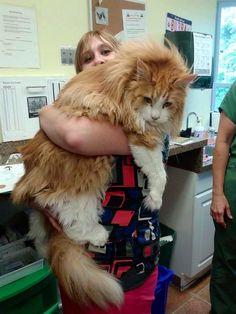 Hunter (23lbs) my Mainecoon cat held by his favorite vet tech