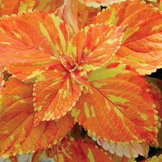 """Freckles"" Coleus....never seen this. Will have to look for it."