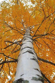 Betula pubescens - bříza pýřitá
