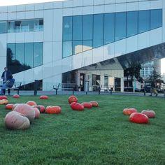 Magically in Gdynia on the lawns appear pumpkins.  #travel #Gdynia #Poland