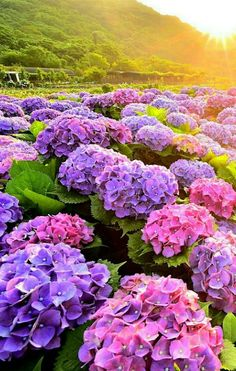 Raising flowers is already one of the happiest things in life. But if a dear person plantes a lot of flowers for you? Hydrangea Care, Hydrangea Flower, Exotic Flowers, Pretty Flowers, Spring Flowers, Wild Flowers, Blue Flowers, Purple Flowers Wallpaper, Flower Aesthetic