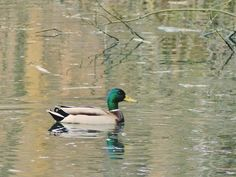 Kaczorek Swan, Bird, Animals, Swans, Animales, Animaux, Birds, Animal, Animais