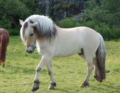 Norwegian Fjord horse...