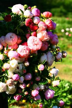 Place to go -- Peony Meadows -- a peony farm located 10 miles outside of Charlottesville!